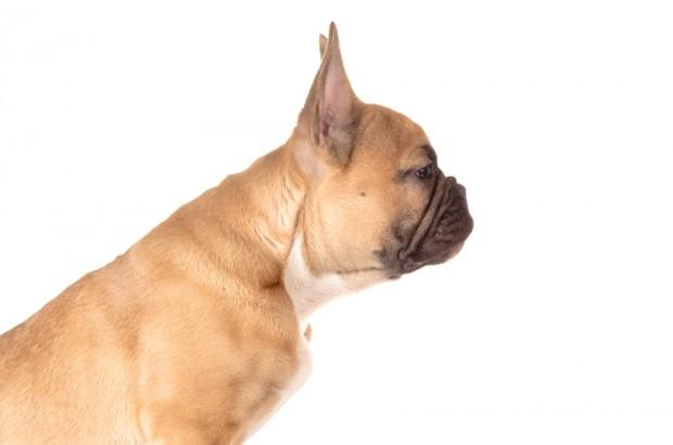 cão adestrado