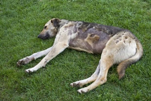 cão com piodermatite