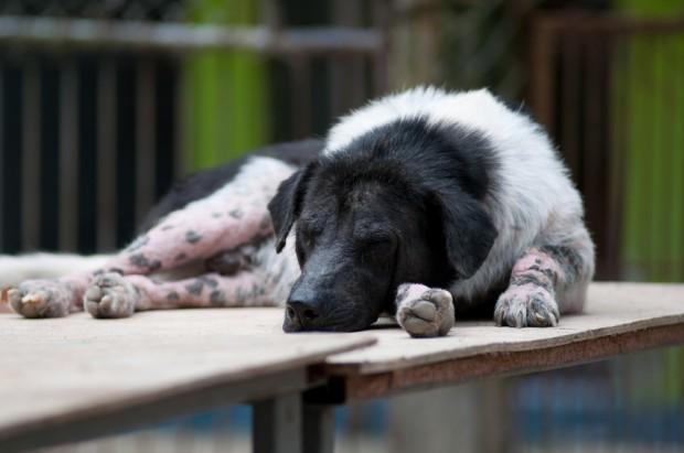 dermatofitose em cão