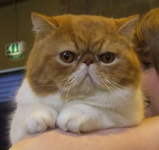 gato exótico claro
