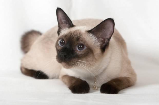 filhote de gato siamês